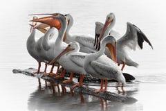 Sammankomst för vit pelikan Arkivbild