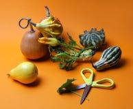 Sammansättning av dekorativa pumpor och päron Fotografering för Bildbyråer