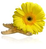 Sammansättning av gula gerberablommor blommar och sjöstjärnan royaltyfri foto