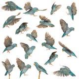 Sammansättning av Stillahavs- Parrotlet, Forpus coelestis som flyger Fotografering för Bildbyråer