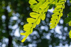Sammansättning med gröna akaciasidor för skönhet fotografering för bildbyråer