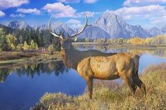 Sammansatt bild av den ensamma älgen på den storslagna Teton nationalparken i höst, Jackson, Wyoming Arkivbild