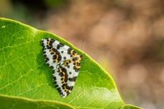 Sammanträde för Abraxas grossulariatafjäril på ett blad Royaltyfri Foto