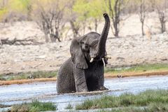 Sammanträde för afrikansk elefant i en waterhole Arkivbilder
