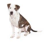 Sammanträde för amerikanska Staffordshire Terrier korshund Arkivbild