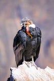 Sammanträde för Andean kondor på Mirador Cruz del Condor i den Colca kanjonen Royaltyfri Bild