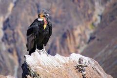 Sammanträde för Andean kondor på Mirador Cruz del Condor i den Colca kanjonen Royaltyfria Foton