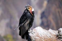 Sammanträde för Andean kondor på Mirador Cruz del Condor i den Colca kanjonen Fotografering för Bildbyråer
