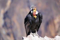 Sammanträde för Andean kondor på Mirador Cruz del Condor i den Colca kanjonen Royaltyfri Foto