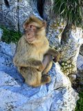 Sammanträde för Barbary apaapa på Rock av Gibraltar, Europa royaltyfri foto