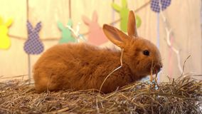 Sammanträde för begrepp för symbol för fluffig kanineaster beröm traditionellt i rede