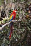 Sammanträde för bild för längd för arafågel fullt i ett träd Arkivbild