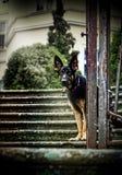Sammanträde för den tyska herden på trappan av slotten parkerar arkivfoto