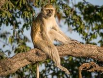 Sammanträde för den Vervet apan kopplade av i ett träd på en solig dag, Chobe NP, Botswana, Afrika Arkivbilder