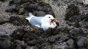 Sammanträde för fågeln för havsfiskmåsen med ber stranden Arkivbild