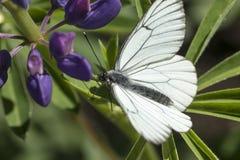 Sammanträde för fjäril för vit kål på en blå blomma Royaltyfria Bilder