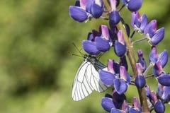 Sammanträde för fjäril för vit kål på en blå blomma Royaltyfri Foto