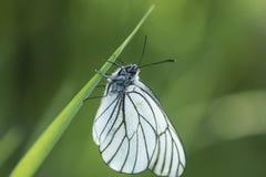 Sammanträde för fjäril för vit kål på ett grönt blad Royaltyfria Foton