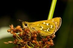 Sammanträde för fjärilsHesperia komma på gräs Royaltyfri Bild