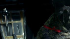 Sammanträde för fransk bulldogg bredvid kvinnan som kör en korvett lager videofilmer