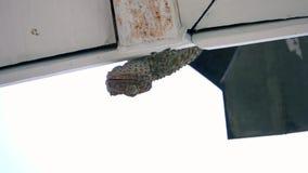Sammanträde för gecko för Tokay geckogekko på väggen arkivfilmer