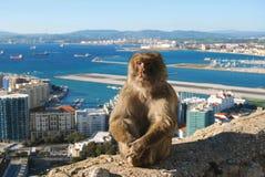 Sammanträde för Gibraltar Barbary Macaqueapa på väggen Arkivfoto