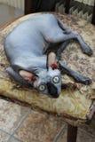 sammanträde för Hem-stamträd älsklings- Shorthair sfinx på en stol i posera av en jägare Royaltyfri Bild