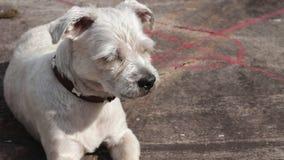 Sammanträde för hund för närbildhundShih Tzu Mix avel med den öppna munnen lager videofilmer
