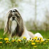 Sammanträde för hundavelShi tzu fotografering för bildbyråer