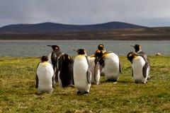 Sammanträde för konung Penguins nära en sjö Royaltyfria Bilder