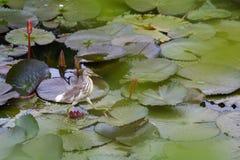 Sammanträde för liten ägretthäger på vatten fotografering för bildbyråer