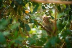 Sammanträde för Macaque` s på en filial asiatisk apa royaltyfria foton