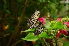 Sammanträde för makro för två pappers- fjärilar för drakeidéleuconoe på en rosa blommaklunga med grön lövrik bakgrund Arkivbilder