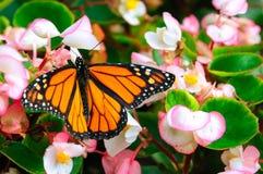 Sammanträde för monarkfjäril på blomman royaltyfria foton