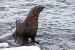Sammanträde för pälsskyddsremsan på vaggar tvättat av havet, Antarktis Arkivbilder