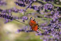 Sammanträde för påfågelfjäril på violett lavendel Arkivbild