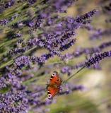 Sammanträde för påfågelfjäril på violett lavendel Arkivfoto