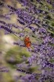 Sammanträde för påfågelfjäril på violett lavendel Royaltyfri Fotografi
