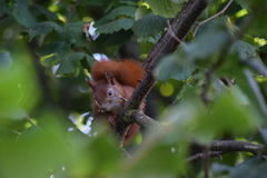 Sammanträde för röd ekorre i ett hasselnötträd Royaltyfria Bilder