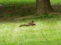 Sammanträde för röd ekorre i gräset Royaltyfri Bild