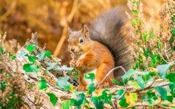 Sammanträde för röd ekorre i skog Arkivbilder