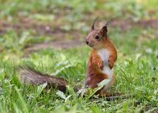 Sammanträde för röd ekorre på gräset Royaltyfria Bilder