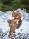 Sammanträde för röd ekorre på skog Royaltyfri Fotografi