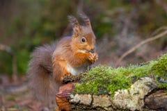 Sammanträde för röd ekorre som matar i skog Royaltyfri Fotografi