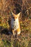 Sammanträde för röd räv i äng i guld- ljust slut av dagen Royaltyfria Foton