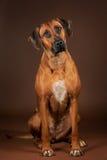 Sammanträde för Rhodesian ridgebackhund på den bruna bakgrunden royaltyfri bild