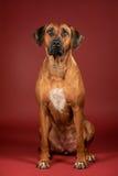 Sammanträde för Rhodesian ridgebackhund på den vinous bakgrunden royaltyfri fotografi