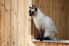 Sammanträde för Siamese katt på räcket av ett trähus Arkivfoto