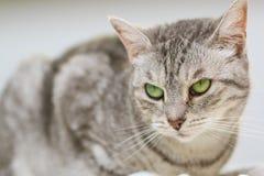 Sammanträde för silverstrimmig kattkatt på en säng Royaltyfria Bilder