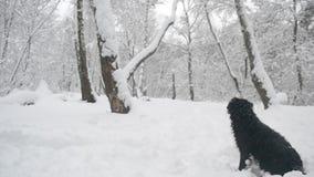 Sammanträde för svart hund i insnöad skog stock video